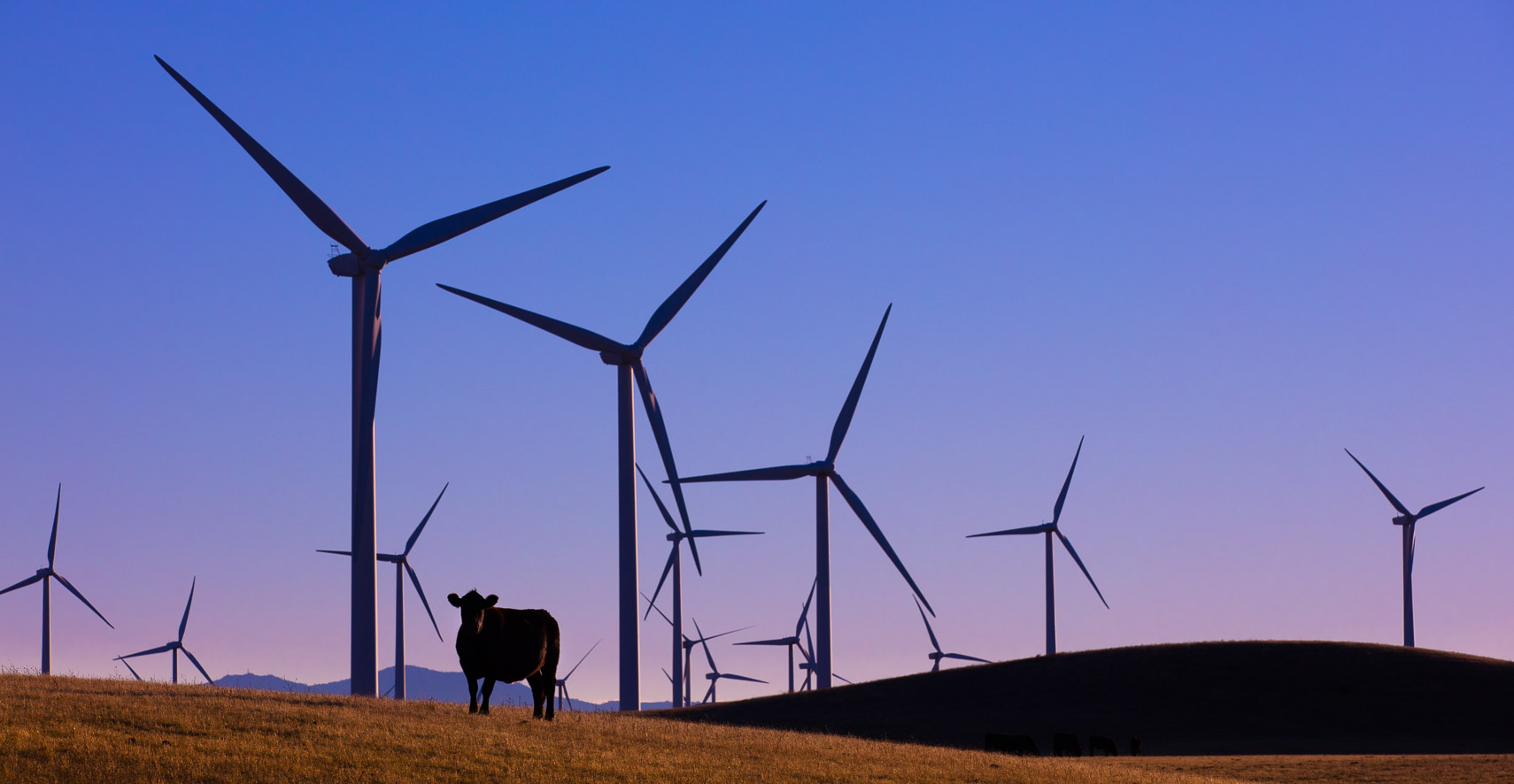 Wind Turbines and a Cow