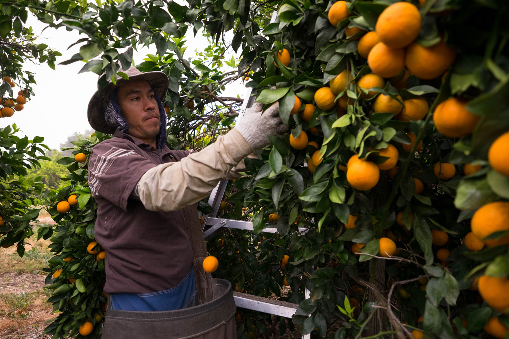 Picking Pixie Tangerines