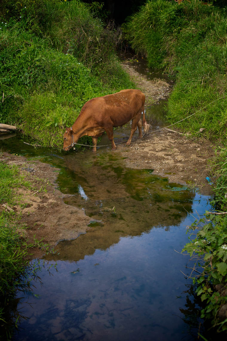 Animal Waste in Streams and Rivers