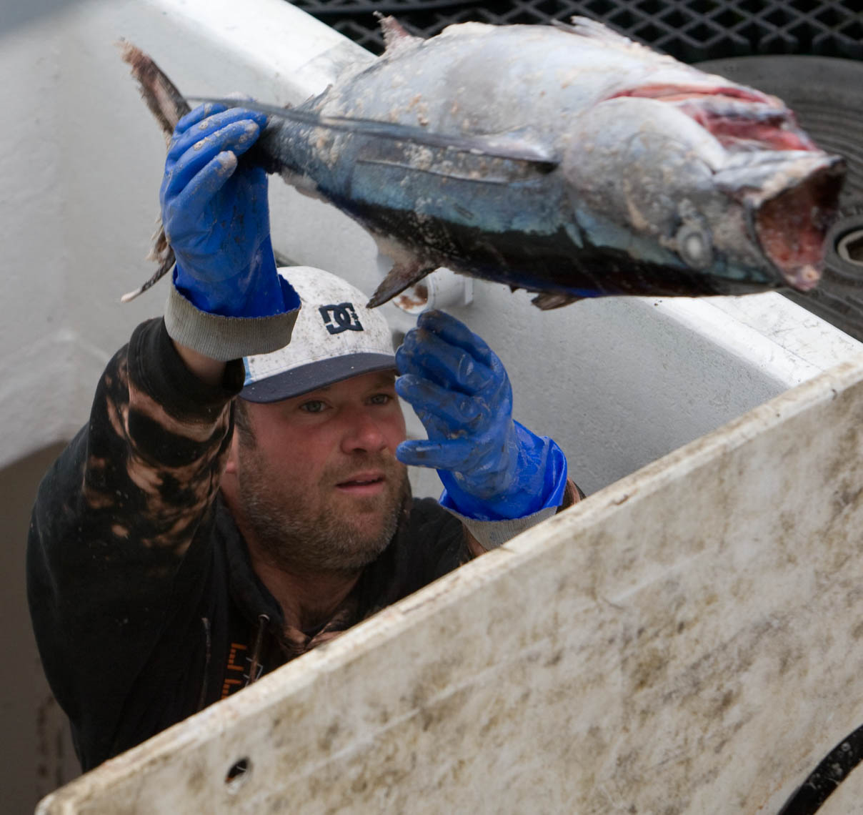 Crewman Throws Frozen Albacore Tuna
