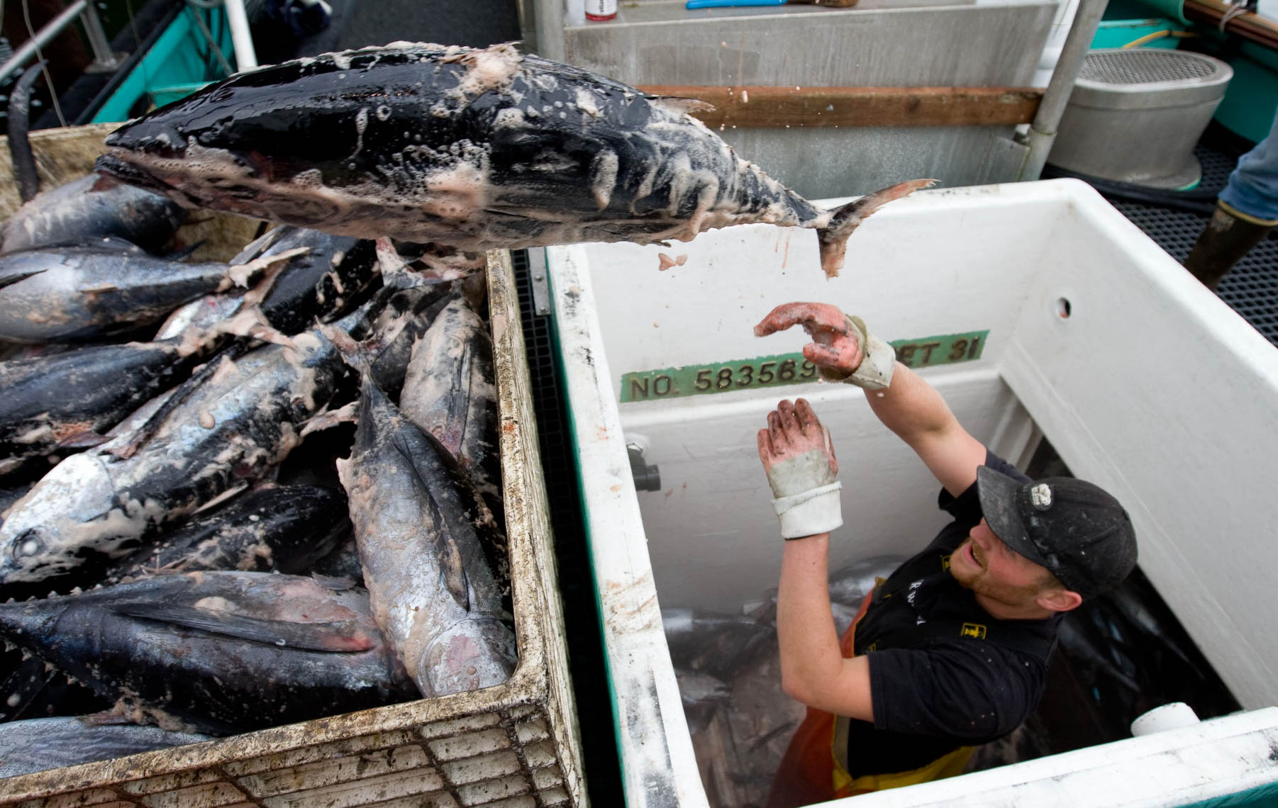 Crewman Removes Frozen Albacore from Hold