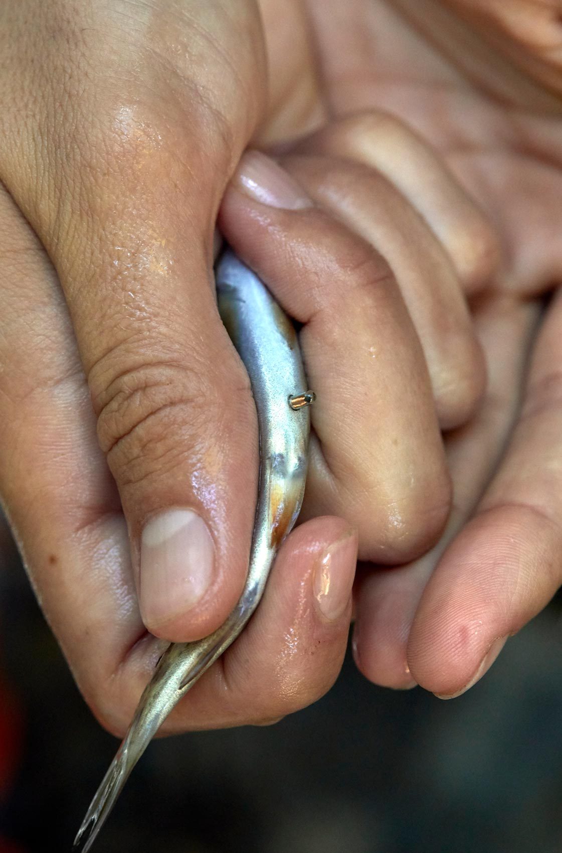 Reasearcher Inserts RFID Capsule into Small Incision on Fish