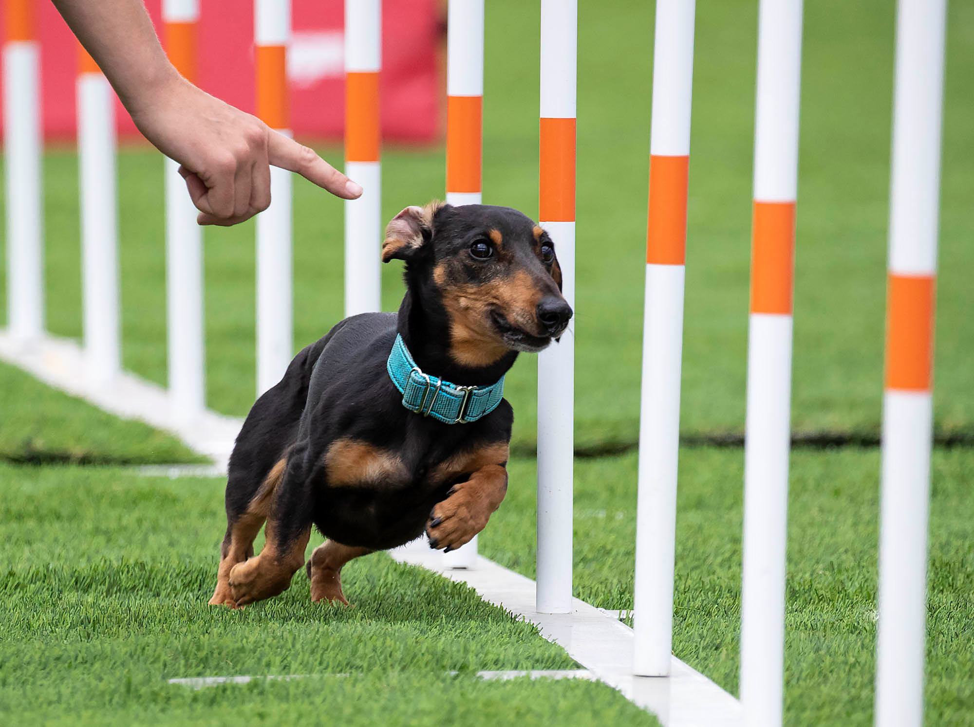 Dog Agility Course